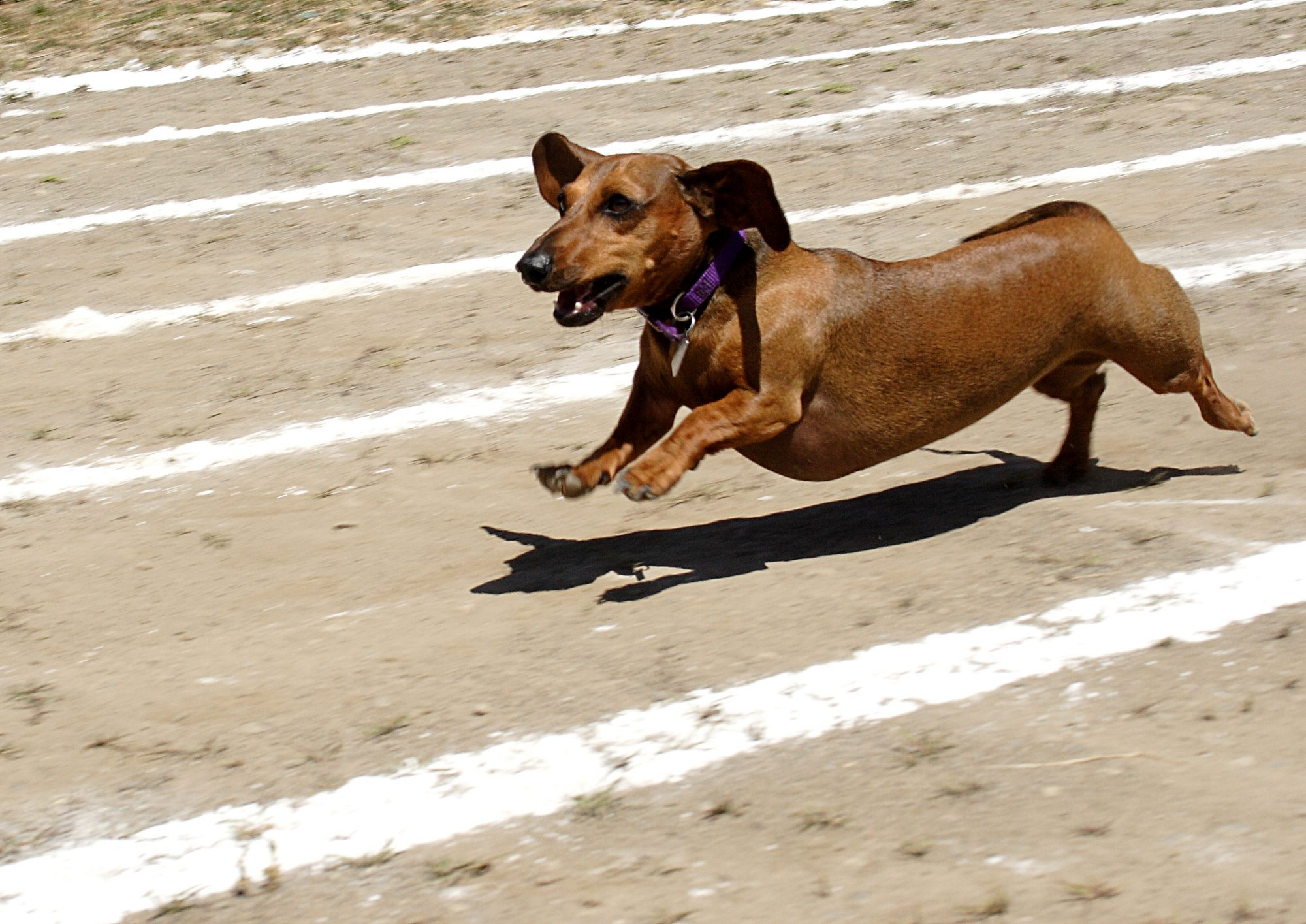 Wiener Dog Race Bend OR