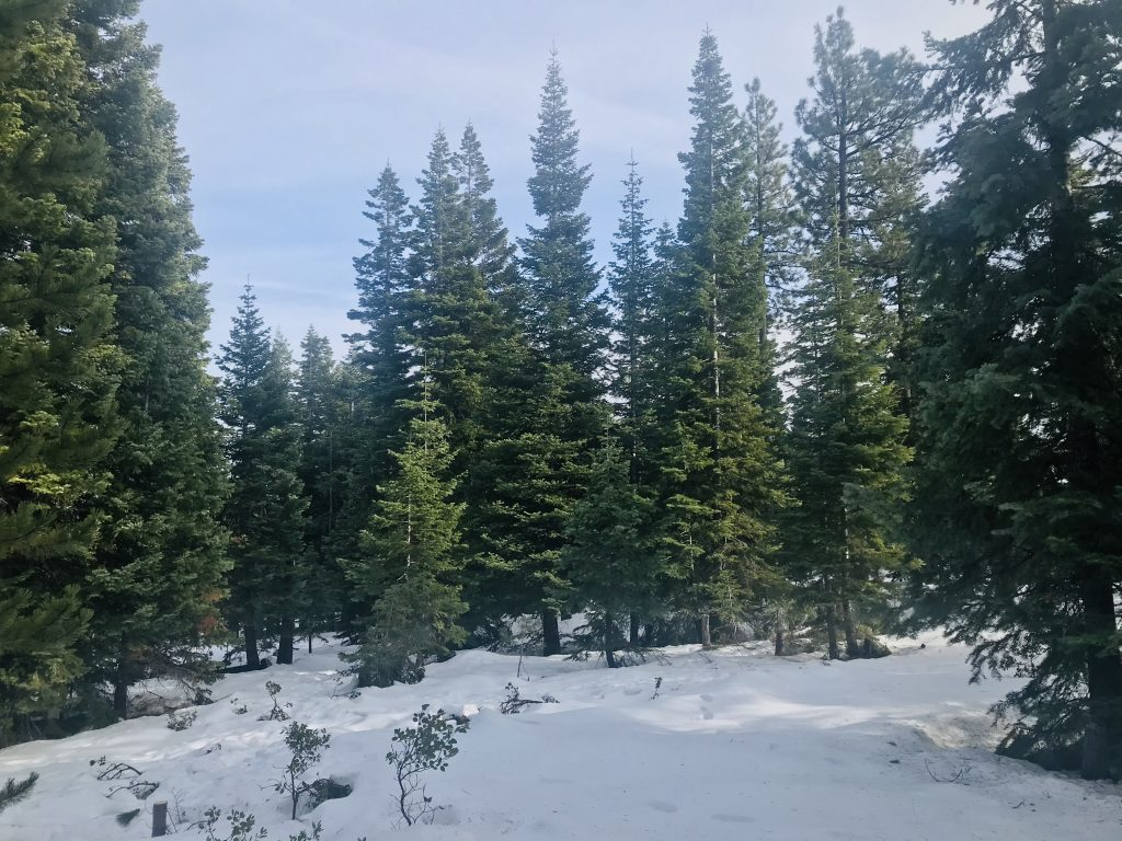 Christmas-Trees-Near-Bend-OR